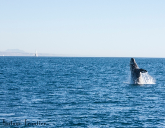 Whale watching has been on my bucket list for years. San Diego is the place to go for Whale Watching.